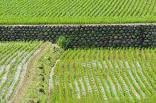 Free Rice Field Stock Photos - 13943053