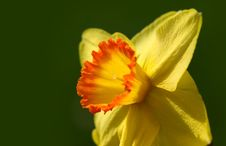 Free Yellow Daffodil Flower Stock Image - 13943281