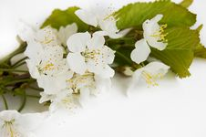 Free Spring Cherry Branch Royalty Free Stock Images - 13944639