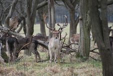 Free Stag Reindeer In Phoenix Park Royalty Free Stock Images - 13944669