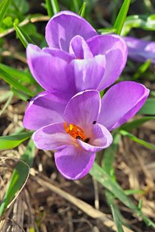 Free Purple Crocus Royalty Free Stock Image - 13945076