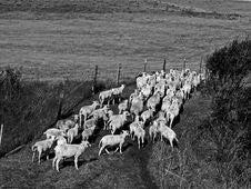 Katahdin Sheep Royalty Free Stock Photography