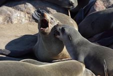 Free South African Fur Seals Having An Argument Royalty Free Stock Photography - 13946057