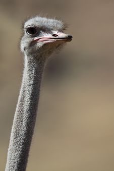 Wild Ostrich In The Desert Mountains Of Namibia Stock Photo
