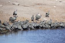 Free Wild Guinea Fowls Drinking At Waterhole Royalty Free Stock Images - 13946249