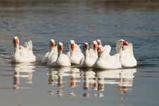 Free Flock Of Domestic Geese Stock Images - 13946694