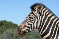 Free Zebra Portrait Royalty Free Stock Image - 13947346
