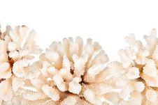 Free White Coral Stock Photos - 13947983