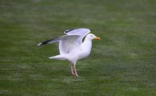 Free A Sea Gull Landing Stock Images - 13948244