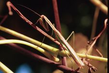 Free Praying Mantis Royalty Free Stock Image - 13948696