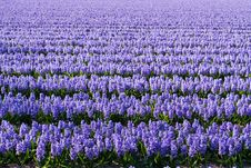 Field Of Violet Flowers - Hyacint Stock Image