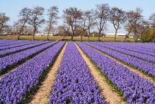 Free Field Of Violet Flowers - Hyacint Royalty Free Stock Image - 13948896