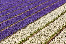 Field Of Violet And White Flowers Stock Photography