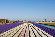 Field Of Violet And White Flowers Royalty Free Stock Images