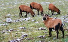 Sheeps In On The Snowy Pasture Stock Images