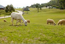 Free Sheep Farm Stock Photos - 13949463