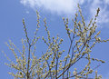 Free Willow Branches Stock Photo - 13952550