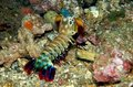 Free Mantis Shrimp Royalty Free Stock Photos - 13954808