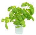 Free Fresh Green Basil Plant Stock Photo - 13956820