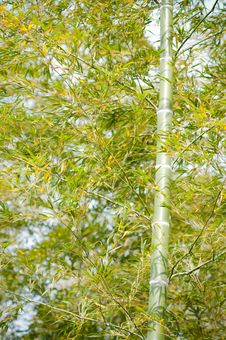 Free Bamboo Stock Images - 13950414