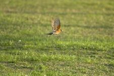 Free Robin In Flight Stock Photo - 13951000
