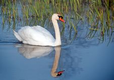 Free Swan Mute On River Stock Photos - 13951233