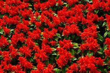 Free Red Lantern Flower Royalty Free Stock Photo - 13951375
