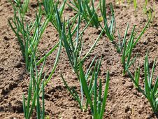 Free Spring Onions Stock Images - 13951554