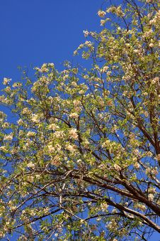 Free Blossoming Tree. Stock Images - 13951974