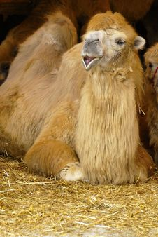 Free Camel Stock Images - 13952814