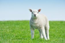 Cute Lamb In Spring Stock Photography