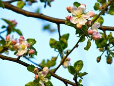 Free Apple Flower Royalty Free Stock Photos - 13954618