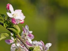 Free Apple Flower Royalty Free Stock Photography - 13954667