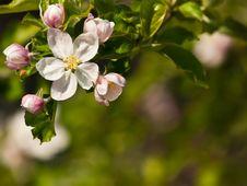 Free Apple Flower Royalty Free Stock Image - 13954726