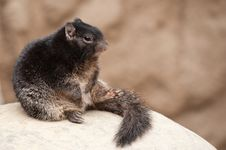 Free Cute Rock Squirrel Royalty Free Stock Photography - 13954747