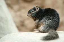 Free Cute Rock Squirrel Royalty Free Stock Photos - 13954758
