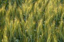 Free Field Of Wheat Stock Images - 13954954
