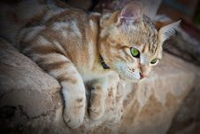Ginger Cat Stock Photos