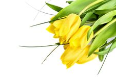 Free Yellow Tulips Stock Images - 13956214