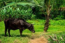 Free Grazing Cow In India Royalty Free Stock Photo - 13956605