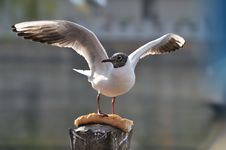 Free Seagull Royalty Free Stock Image - 13957046