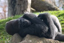 Free Male Gorilla Lying On A Stone Royalty Free Stock Image - 13957476