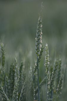 Free Close-up Of Cereal Plant Royalty Free Stock Photos - 13957698