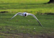 Free Black-headed Gull Stock Photography - 13958102