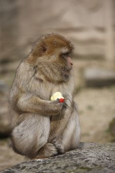 Free Monkey Eating An Apple Stock Image - 13959051