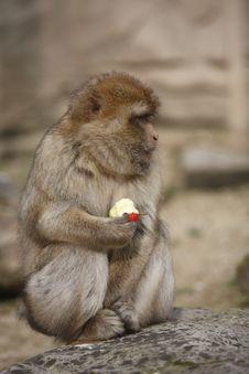 Free Monkey Eating An Apple Stock Image - 13959051