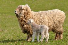 Free Sheep With 2 Days Old Cute Lamb Royalty Free Stock Images - 13959579