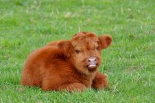 Free Cute Calf Of Highland Cattle Stock Images - 13959594