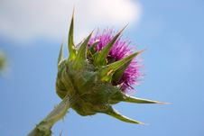 Free Purple Thorn Under Blue Sky Stock Images - 13959894