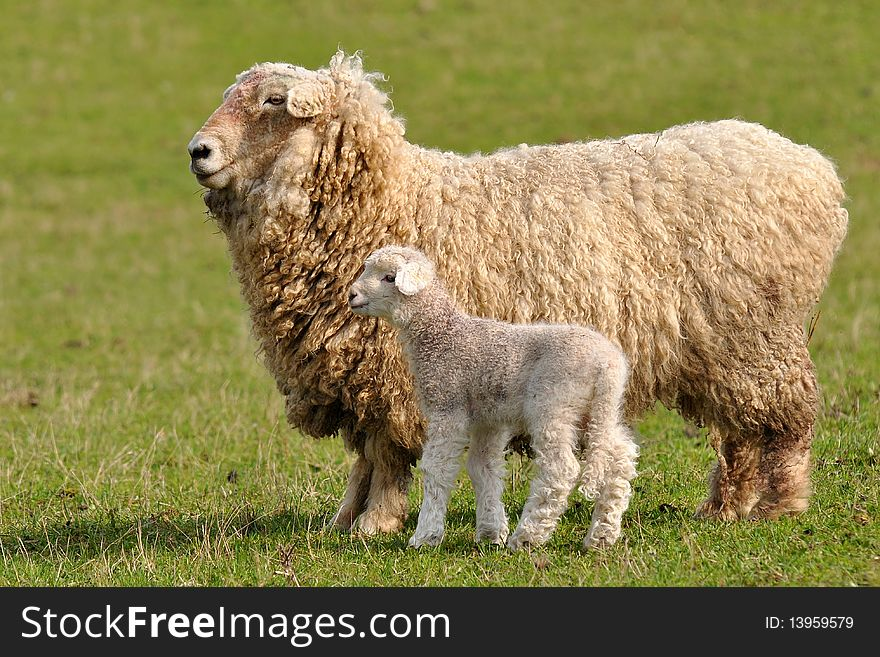 Sheep with 2 days old cute lamb